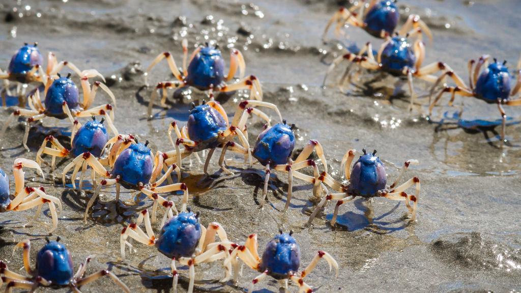 Blauer Soldatenkrebs